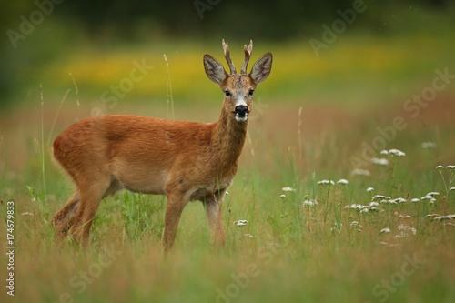 Poster Hert Roe deer male on the magical green grassland, european wildlife, wild animal in the nature habitat, deer rut in czech republic.
