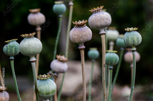 Poppy fruit dry shell head with seeds grown on meadow - 174691633