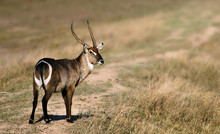 Waterbuck Bull Staring At Camera With Writing, Copy Space. Kruger National Park. Kobus Ellipsiprymnus