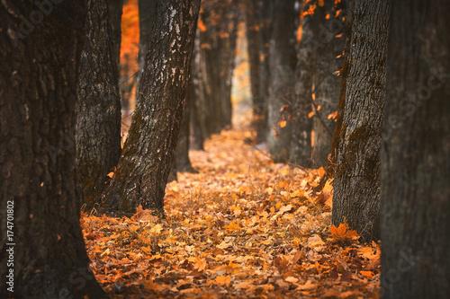 Дорожка из желтых листьев между деревьями в осеннем лесу Wallpaper Mural