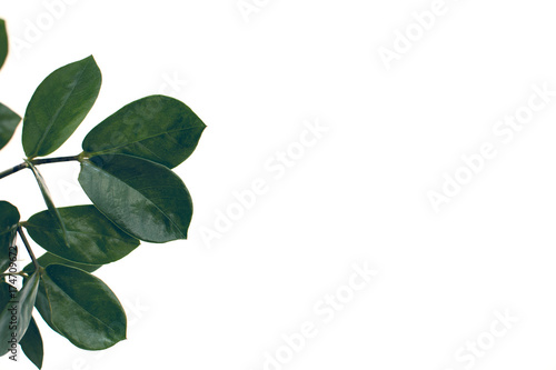 Poster Vegetal ficus leaves