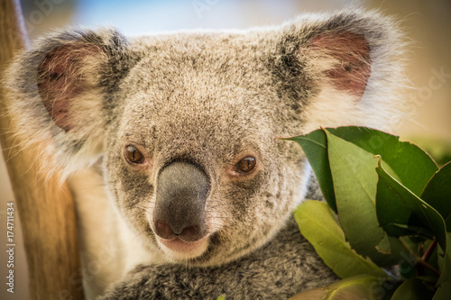 Keuken foto achterwand Koala Close up of cute Koala looking straight ahead