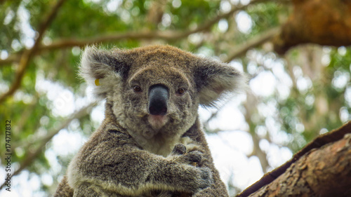 Photo Stands Koala Koala hospital in Port Macquarie