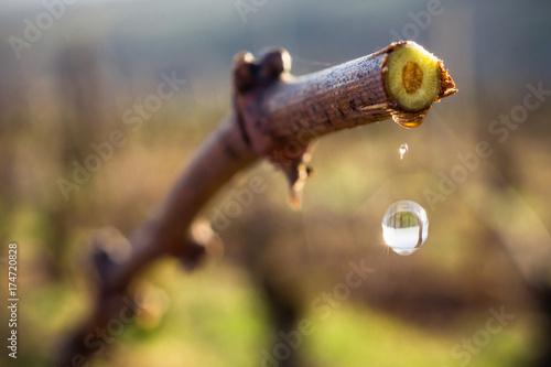 montée de sève dans la vigne