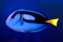 Blue Tang (paracanthurus Hepat...