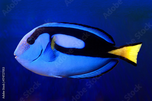 Photo  Blue Tang (paracanthurus hepatus)