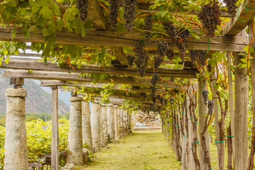 Panel Szklany Ogrody the typical agricultural architecture of the vineyards of Carema, in Piedmont, Italy /pylons, stone and lime columns and chestnut poles support the pergola of rows of grapes