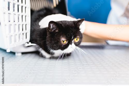 Beautiful exotic shorthair cat at veterinary.