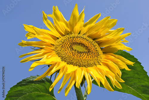 Photo Sunflower on a blue sky background
