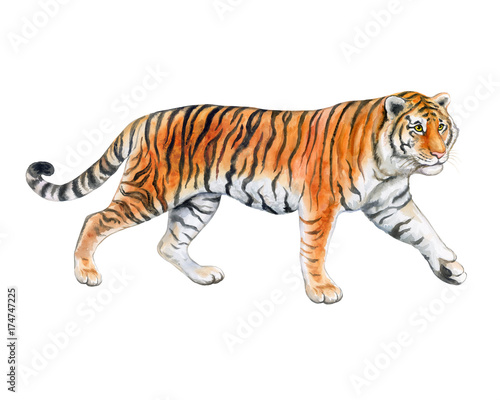 Foto auf AluDibond Tiger Tiger isolated on white background. Watercolor. Illustration. Template. Handmade.