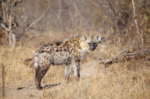 Staande foto Hyena Hyena
