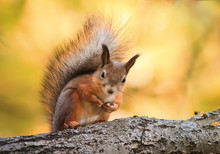 Cute Squirrel Sits On Tree And Looks Ridiculous In The Autumn Park
