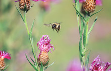 Shaggy Bumblebee Flying Around The Flowers On A Summer Solar Meadow