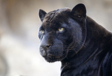 Panther. The Moscow Zoo.
