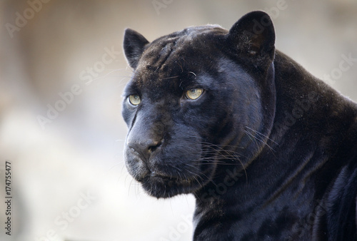 Spoed Foto op Canvas Panter Panther. The Moscow zoo.