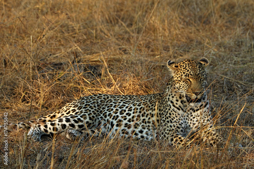 Plakat Portret lampart, Kruger park narodowy, Południowa Afryka (Panthera pardus)