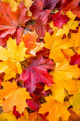 Naklejka na ściany i meble clean bright colored autumn leaves