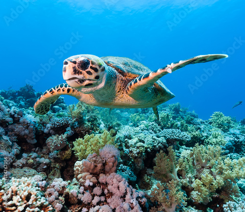 Keuken foto achterwand Schildpad Hawksbill sea turtle on a tropical coral reef