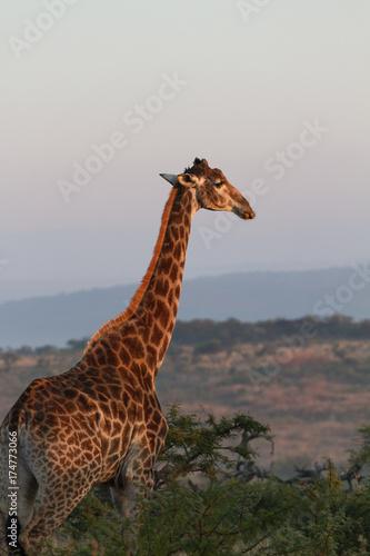 Autocollant pour porte Girafe Giraffe Nambiti Game Reserve, South Africa.