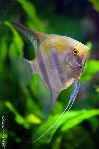 Fotografie, Obraz  Red-eye Angelfish with silver and black and gold colors in planted tropical aqua