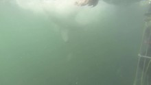 Great White Shark Grabs Bait And Rushes Away