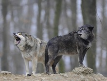 Mackenzie Wolf, Canadian Wolf, Timber Wolf (Canis Lupus Lycaon), Howling