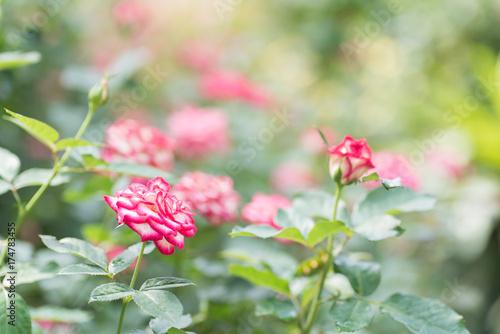 Fototapeta Różowe róże kwitną okwitnięcie w ogródzie, dekoracja kwitną