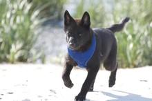Kai Ken Puppy Running On The Beach