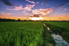 Lanscape Rice Field In Thailan...