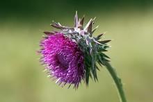 Flowering Musk Thistle (Carduu...