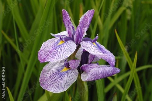 Foto op Canvas Iris Harlequin blueflag, Larger blue flag (Iris versicolor), flowers