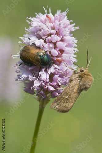 Photo Garden Chafer (Phyllopertha horticola) and a spinner moth on Fleece Flower (Poly