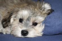 Havanese Puppy, 3 Months