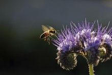 Bee (Apis Sp.), On A Purple Fl...
