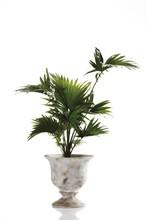 Palm (Livistona Rotundifolia)