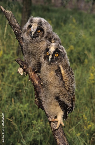 Fototapeta Long-eared Owls (Asio otus), two almost fully fledged young