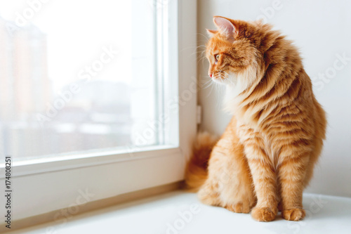 Staande foto Kat Cute ginger cat siting on window sill and waiting for something. Fluffy pet looks in window.