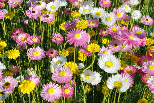 Australian native paper daisy flowers in yellow pink and white australian native paper daisy flowers in yellow pink and white mightylinksfo