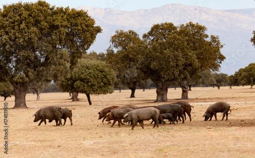 Fotomural  Iberian pigs grazing among the oaks
