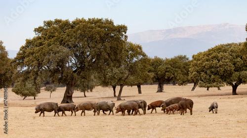 Fotografía  Iberian pigs grazing among the oaks