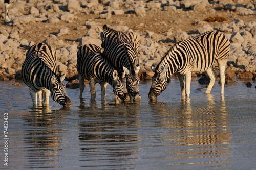 Zdjęcie XXL Zebras zebry stepowej w wodopoju, zebra Burchell, Etosha National Park, Namibia, (Equus burchelli)