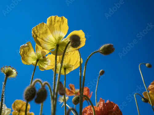 Plakat Poppies Against The Sky
