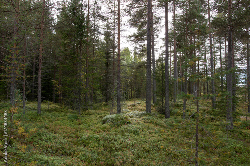 Photo  green pine forest in norway