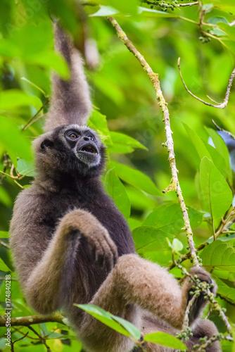 Gibbon Fototapet
