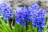 Macro closeup of many blue hyacinth flowers
