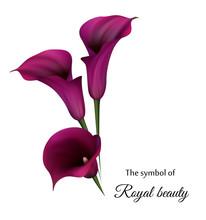 Realistic Violet Calla Lily. T...