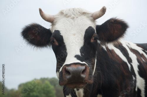 Poster de jardin Vache portrait de vache noire et blanche dans une prairie