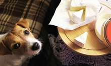 Dog Jack Russell Terrier Begging The Hostess Cheese.