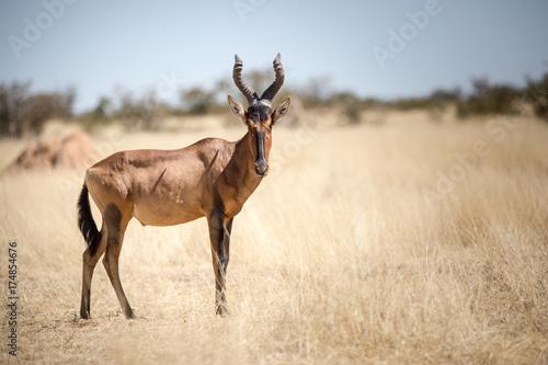 Spoed Foto op Canvas Antilope Etosha Wilderness, Namibia, Africa