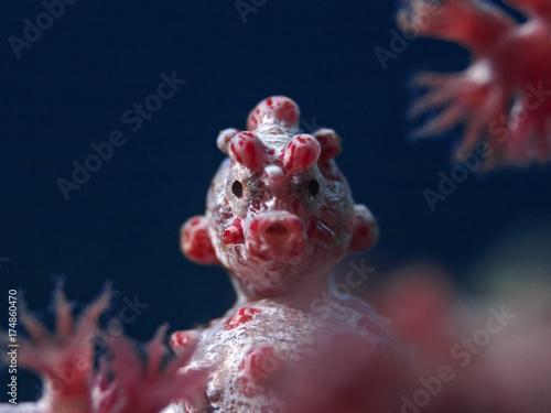 Pygmy Seahorse, Zwergseepferdchen (Hippocampus bargibanti) Canvas-taulu